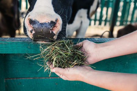 close-up partial view of farmer holding hay and feeding cow at stall  Stock Photo