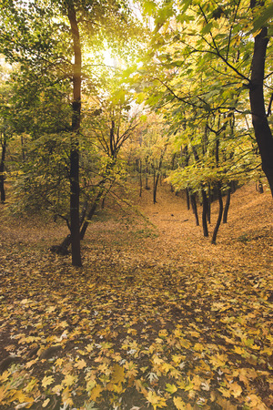 beautiful autumn forest covered with fallen leaves