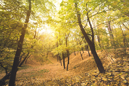 beautiful autumn forest on sunny day covered with golden leaves
