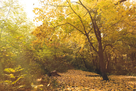 beautiful autumn park with ground covered with yellow leaves