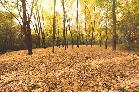 autumn forest on sunny day covered with golden leaves Stock Photo