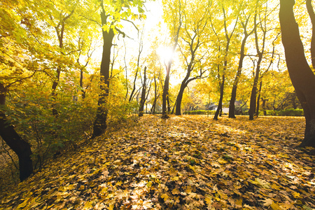 sunny autumn forest covered with yellow fallen leaves