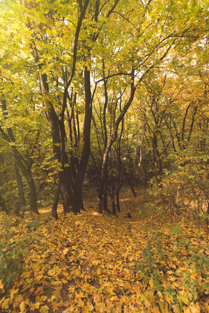 beautiful autumn forest with ground covered with yellow leaves