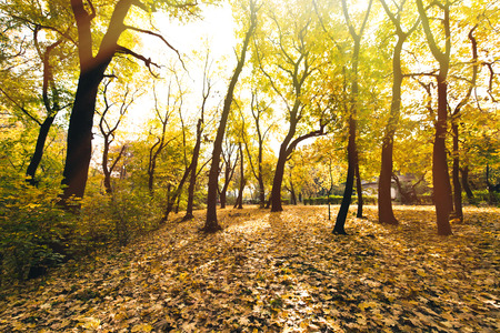 autumn forest with ground covered in yellow fallen leaves