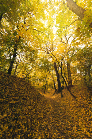 beautiful autumn forest covered with yellow fallen leaves
