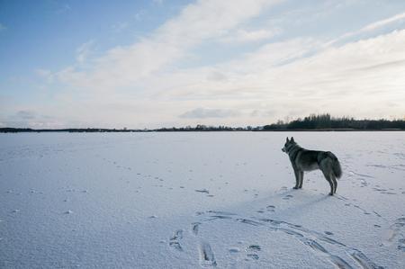 furry malamute dog standing on snowy field
