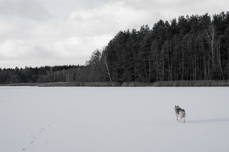 black and white photo of dog running on snowy field Фото со стока