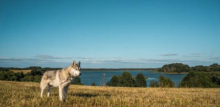 beautiful malamute dog standing in autumn field