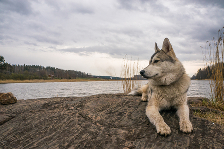 close up view of malamute dog resting on rock near river