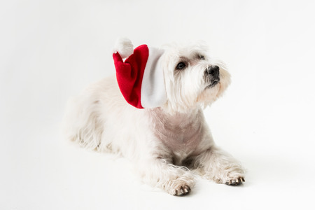 White Terrier in santa hat with gift Stock Photo