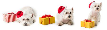 White Terrier in santa hat on floor