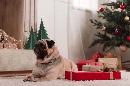 pug with christmas gift Stock fotó - 92190715