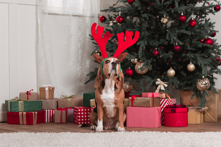 beagle with toy antlers and christmas gifts Stock Photo