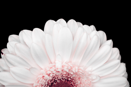 beautiful pink and white gerbera isolated on black