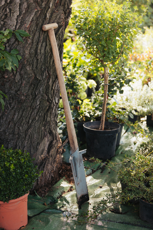 dirty spade with wooden handle standing in garden