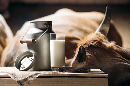 fresh milk in glass and can on sackcloth and brown cow standing behind