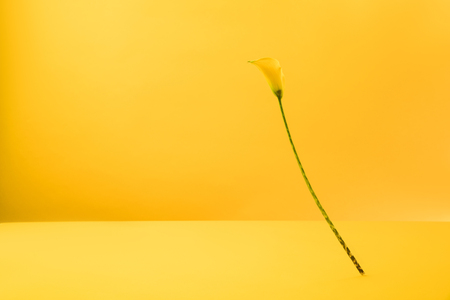 beautiful blooming yellow calla lily flower isolated on yellow   Stock Photo