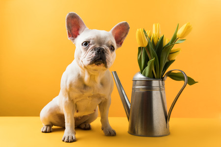 funny french bulldog sitting near watering can with yellow tulips on yellow Foto de archivo - 95330504