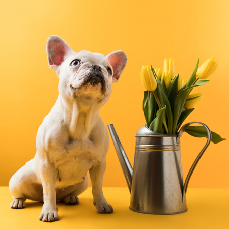 cute french bulldog sitting near watering can with yellow tulips on yellow Foto de archivo - 95331511