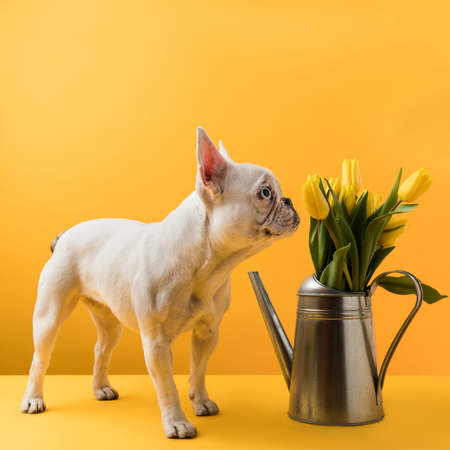 dog sniffing beautiful yellow tulips in watering can on yellow Imagens - 95331513