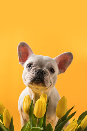 cute dog and beautiful yellow tulips isolated on yellow Foto de archivo - 95331514