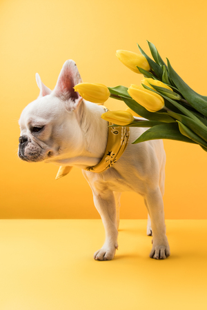 cute french bulldog and beautiful yellow tulip flowers on yellow