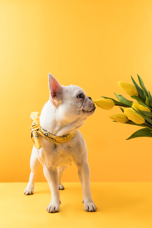 funny french bulldog sniffing beautiful yellow tulip flowers on yellow   Stock Photo