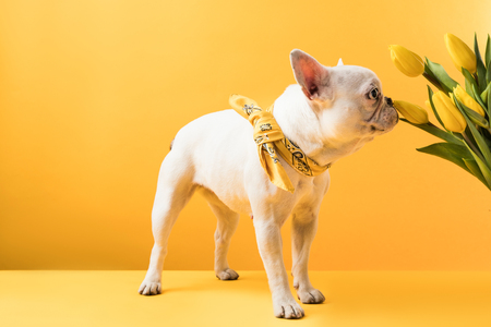 french bulldog sniffing beautiful yellow tulip flowers on yellow
