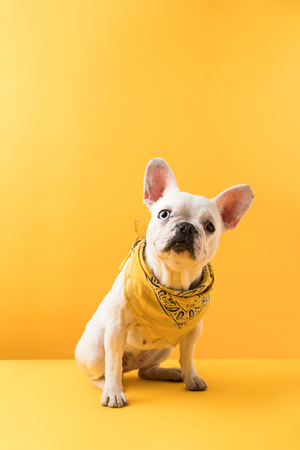 funny french bulldog sitting and looking at camera on yellow Stock Photo