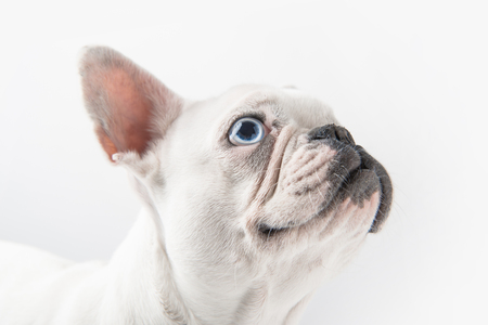 close-up view of funny french bulldog looking up isolated on white Фото со стока