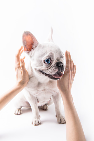 cropped shot of person stroking french bulldog isolated on white Фото со стока