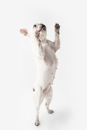 adorable french bulldog standing on paws and looking up isolated on white