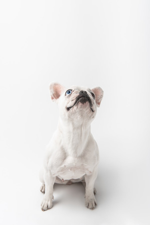 adorable french bulldog puppy sitting and looking up isolated on white