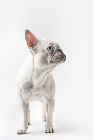 adorable purebred french bulldog looking away isolated on white