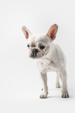 adorable funny french bulldog puppy standing isolated on white