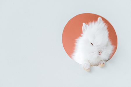 adorable white furry rabbit in hole on grey Stockfoto