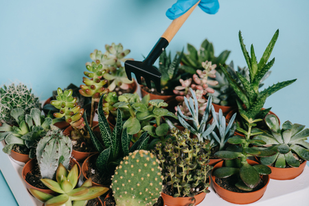 cropped shot of human hand in glove holding rake and green succulents in pots on grey
