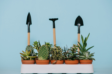 green succulents in pots and gardening tools isolated on grey