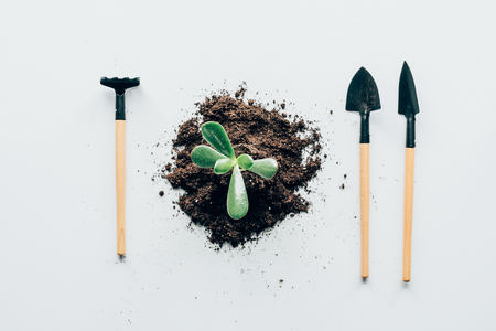 top view of beautiful green plant in soil and gardening tools grey