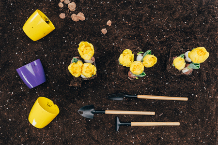 top view of yellow flowers growing in soil, gardening tools and flower pots