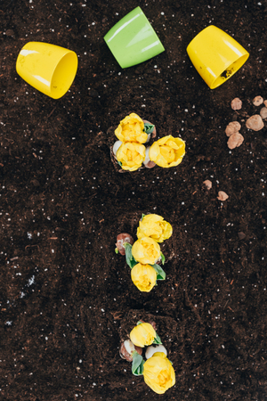 top view of beautiful yellow flowers growing in soil and flower pots