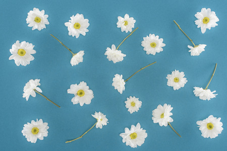 white chrysanthemum flowers isolated on blue