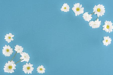 white chrysanthemum flowers isolated on blue