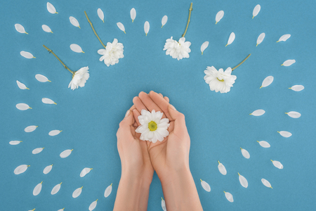 top view of cropped hands with daisy isolated on blue 스톡 콘텐츠