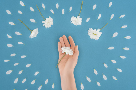 top view of cropped hand with daisy isolated on blue 스톡 콘텐츠