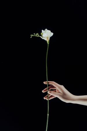 cropped image of female hand holding freesia flowers isolated on black Reklamní fotografie