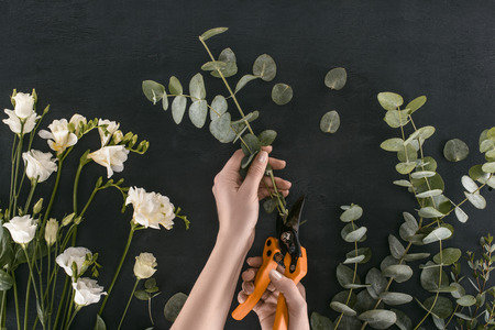cropped image of female hands cutting eucalyptus branches by garden shears over black background Stock Photo