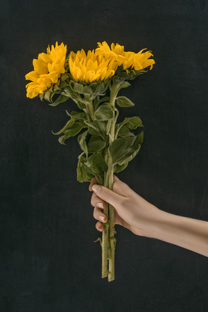 cropped image of female hand holding beautiful sunflowers isolated on black Reklamní fotografie - 98682498