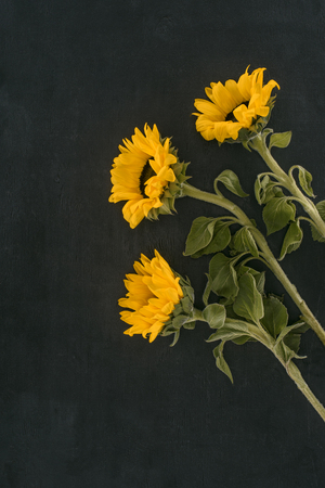 beautiful blooming sunflowers isolated on black Reklamní fotografie