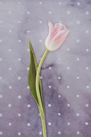 Blooming tulip flower over purple spotted background Reklamní fotografie